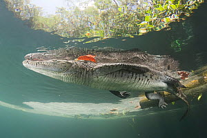 Morelet's / Mexican crocodile (Crocodylus moreletii) at surface of cenote (freshwater spring). Near Tulum, Yucatan Peninsula, Mexico. Endangered  -  Doug Perrine