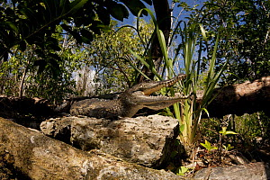 Juvenile Morelet's / Mexican crocodile {Crocodylus moreletii} gaping to keep cool while basking on the banks of a cenote (freshwater spring) near Tulum, Yucatan Peninsula, Mexico. Endangered  -  Doug Perrine