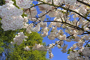 Japanese cherry tree (Prunus serrulata) blossom, the Netherlands, April 2009 - Philippe Clement
