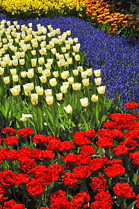 Flowerbed with colourful Tulips, Hyacinths and Daffodils in flower garden of Keukenhof, the Netherlands, April 2009  -  Philippe Clement