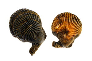 Variegated scallops (Chlamys / Mimachlamys varia), Belgium  -  Philippe Clement