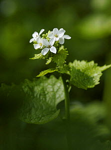 Garlic mustard / Jack by the Hedge (Alliaria petiolata) in flower, Morden, South London, UK  -  Russell Cooper