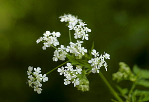 Cow parsley (Anthriscus sylvestris) in flower, UK - Russell Cooper