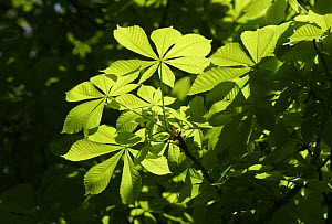 Horse chestnut tree (Aesculus hippocastanum) leaves in springtime, South London, UK - Russell Cooper