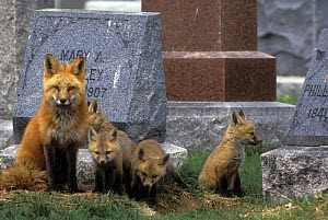 Mother Red fox (Vulpes vulpes) with four cubs near den in a cemetery, Denver, Colorado, USA  -  Shattil & Rozinski