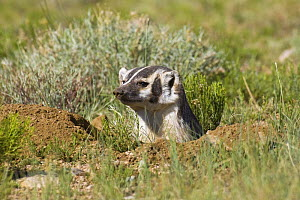 American badger (Taxidea taxus) looking out of hole that it has been digging, Wyoming, USA  -  Shattil & Rozinski