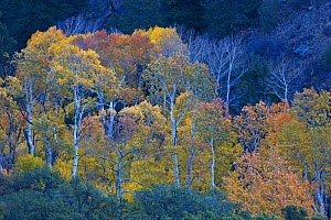 Quaking aspen trees (Aspen tremuloides) in autumn, San Luis Valley, Colorado, USA - Shattil & Rozinski