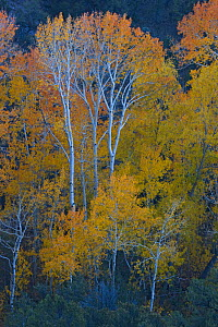 Quaking aspen trees (Populus tremuloides) in autum, San Luis Valley, Colorado, USA - Shattil & Rozinski