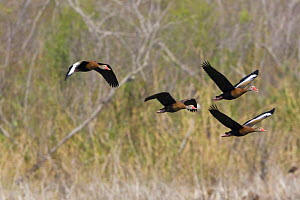 Black-bellied whistling ducks (Dendrocygna autumnalis) in flight, The Nature Conservancy's Southmost Preserve, Lower Rio Grande Valley wildlife corridor, Texas, USA  -  Shattil & Rozinski