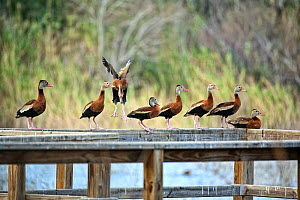Black-bellied whistling ducks (Dendrocygna autumnalis) on wooden railing, Nature Conservancy's Southmost Preserve, Lower Rio Grande Valley, USA  -  Shattil & Rozinski