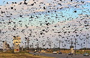 Large flock of Red winged blackbirds (Agelaius phoeniceus) flying across road, Lower Rio Grande Valley, Texas, USA - Shattil & Rozinski