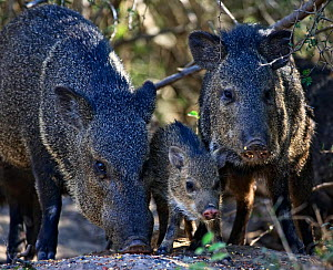 Collared peccary / Javelina (Tayassu / Peccari tajacu) two adults with young, Lower Rio Grande valley wildlife corridor, Hidalgo County, Texas, USA - Shattil & Rozinski