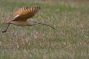 Long billed curlew (Numenius americanus) in flight over prairie, Wyoming, USA  -  Shattil & Rozinski