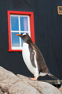 RF- Gentoo penguin (Pygoscelis papua) standing on rocks, Port Lockroy, Goudier Island, Antarctic Peninsula, Antarctica. February. (This image may be licensed either as rights managed or royalty free.)  -  Gabriel Rojo