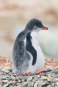 RF- Gentoo penguin (Pygoscelis papua) chick in nest, Port Lockroy, Goudier Island, Antarctic Peninsula, Antarctica. February. (This image may be licensed either as rights managed or royalty free.)  -  Gabriel Rojo