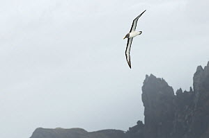 Buller's albatross / Mollymawk (Thalassarche / Thalassarche bulleri) in flight, Chatham Islands, off southern New Zealand  -  Mark Carwardine