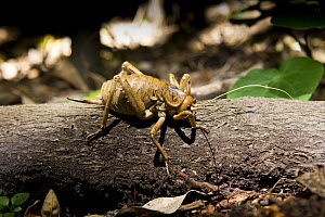 Cook Strait giant weta {Deinacrida rugosa} Extinct in the wild until 2007, now captive-bred animals are being re-released, blue tag is marker for research purposes, Matiu-Somes Island, Wellington Harb...  -  Mark Carwardine