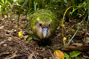 Kakapo (Strigops habroptila) wild male known as Sirocco walking along the ground, night parrot, Codfish Island, off Stewart Island, southern New Zealand, Critically endangered species - Mark Carwardine