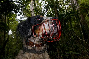 Domestic dog wearing muzzle, trained to track the endangered North Island Kiwi, Trounson Kauri Park, North Island, New Zealand, January 2009  -  Mark Carwardine