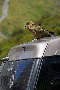 Kea (Nestor notabilis) perched on car, Mountain parrot endemic to New Zealand, Homer Tunnel, South Island, New Zealand, threatened species - Mark Carwardine