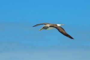 Buller's albatross (Thalassarche bulleri) in flight, Chatham Islands, off southern New Zealand  -  Mark Carwardine