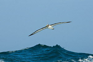 Buller's albatross (Thalassarche bulleri) flying over sea, Chatham Islands, off southern New Zealand  -  Mark Carwardine