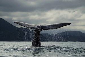 Sperm whale {Physeter macrocephalus} diving, tail fluke, Kaikoura, South Island, New Zealand - Mark Brownlow