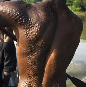 Young man with body scars from manhood initiation ceremony, said to represent the man being swallowed by a crocodile and re-born as a crocodile-man, Papua New Guinea, August 2007  -  Mark Brownlow