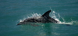 Dusky dolphin {Lagenorhynchus obscurus} surfing at surface, Kaikoura, South Island, New Zealand  -  Mark Brownlow