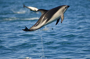 Dusky dolphin {Lagenorhynchus obscurus} leaping at surface, Kaikoura, South Island, New Zealand  -  Mark Brownlow
