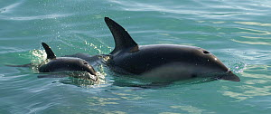 Dusky dolphin {Lagenorhynchus obscurus} mother and baby at surface, Kaikoura, South Island, New Zealand  -  Mark Brownlow
