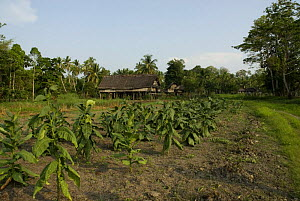 Crops growing in field beside traditional hut, Papua New Guinea, September 2007 - Mark Brownlow
