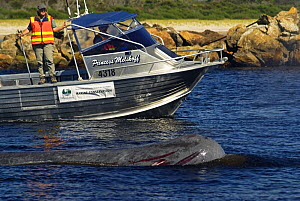 Sperm whale {Physeter macrocephalus} wounded, swimming up river being tracked by a conservation rescue boat, Australia, March 2007 - Mark Brownlow