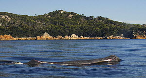 Sperm whale {Physeter macrocephalus} swimming up a river, Australia, March 2007 - Mark Brownlow