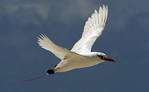 Red tailed tropicbird {Phaethon rubricauda} in flight, French Frigate Shoals, Hawaiian islands, Pacific - Mark Brownlow