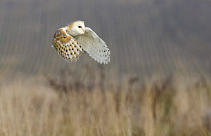 Barn owl (Tyto alba) in flight over reeds, captive, UK  -  David Kjaer