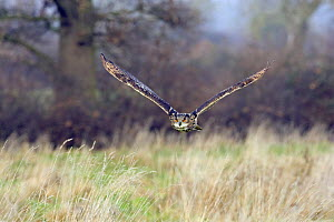 Eagle owl (Bubo bubo) flying low over grassland, captive, UK.  -  David Kjaer
