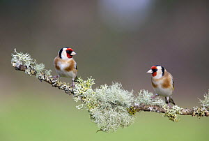 Two Goldfinch (Carduelis carduelis) perched on lichen covered branch, Gloucestershire, England.  -  David Kjaer