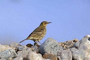 Rock Pipit (Anthus petrosus) perched on rocks on shore, Dorset, England  -  David Kjaer
