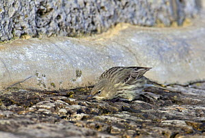 Rock Pipit (Anthus petrosus) searching for insects on rocks along shore, Dorset, England  -  David Kjaer