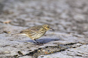 Rock Pipit (Anthus petrosus) with 'tick' in bill on shore, Dorset, England  -  David Kjaer