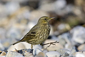 Rock Pipit (Anthus petrosus) walking over rocks on shore, Dorset, England  -  David Kjaer
