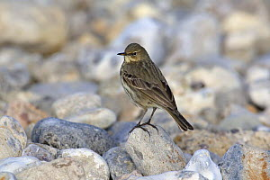 Rock Pipit (Anthus petrosus) perched on rock on shore, Dorset, England  -  David Kjaer