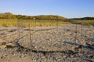 Enclosure to protect nest of Piping plover {Charadrius melodus} at the Shifting Lots Preserve, Plymouth, Massachusetts, USA. Owned by the Wildlands Trust. Cape Cod Bay. Near Ellisville Harbor State Pa...  -  Jerry Monkman