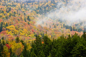 Woodland in autumn, Crawford Notch, White Mountains, Hampshire, USA, October 2007 - Jerry Monkman