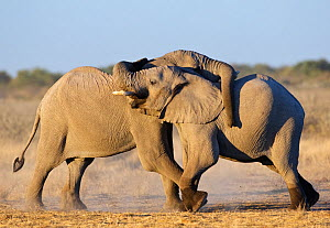 RF- African elephant (Loxodonta africana) young males play fighting, Etosha National Park, Namibia, June. Endangered species. (This image may be licensed either as rights managed or royalty free.)  -  Tony Heald