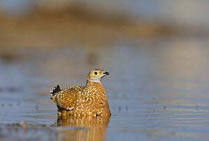 Burchell's / Variegated sandgrouse (Pterocles burchelli) collecting water in feathers to transport to chicks, Etosha National Park, Namibia, June  -  Tony Heald