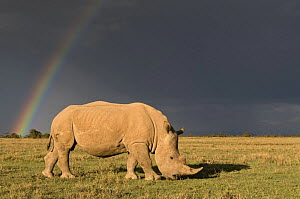 Southern white rhinoceros (Ceratotherium simum simum) with rainbow and storm clouds. Ol Pejeta Conservancy, Kenya, 2009. Threatened species. - Mark Carwardine
