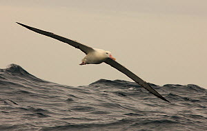 Southern royal albatross {Diomedea epomophora} in flight over sea, South Atlantic  -  Ian McCarthy