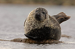 Common seal {Phoca vitulina} resting on exposed rock at low tide, Scotland, UK  -  Ian McCarthy
